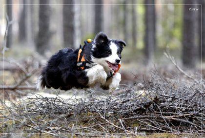 Tämän päivän harrastuskoiran elämä on huippu-urheilua. Sitä tulee myös hoitaa ja huoltaa sen mukaan.