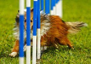 Agilityn kepit eivät suju koiralta, jonka kropassa on jäykkyyttä