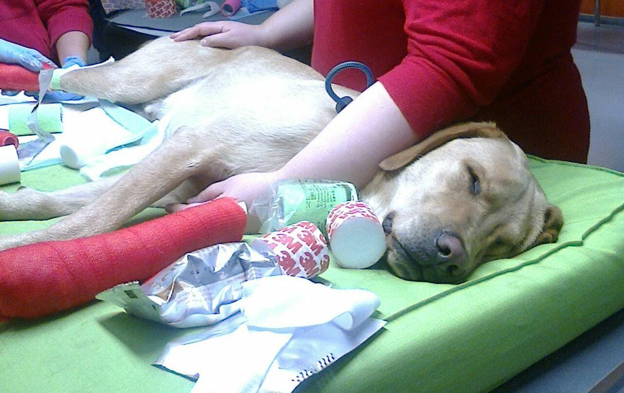"""Tämä labradorinnoutaja nautiskelee olostaan """"potilaana"""" 4. vuosikurssin eläinlääkäriopiskelijoiden kipsauskurssilla. Kyse on harjoitustilanteesta, ja potilas täysin terve ja tajuissaan."""